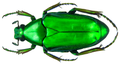 Plectrone borneensis Miksic, 1973 female (8406469908).png