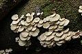 Pleurotus sp. (44033818295).jpg