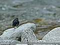 Plumbeous Water Redstart (Rhyacornis fuliginosa) (15708438768).jpg