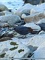 Plumbeous Water Redstart (Rhyacornis fuliginosa) (15869149406).jpg