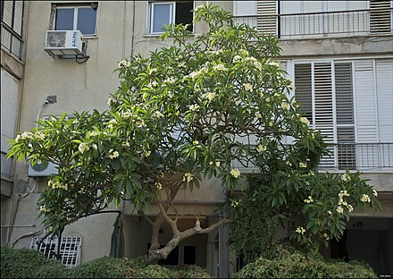 Flowering tree of Plumeria rubra decorating a garden in Tel Aviv, Israel. Plumeria-tree-Tel-Aviv-ZE-MK-1.jpg