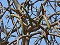 Plumeria alba (seed pods).jpg