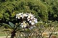 Plumeria rubra 2850.jpg
