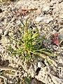 Poa annua (subsp. annua) sl3.jpg