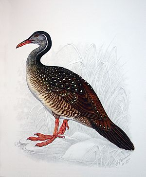 African finfoot - Female