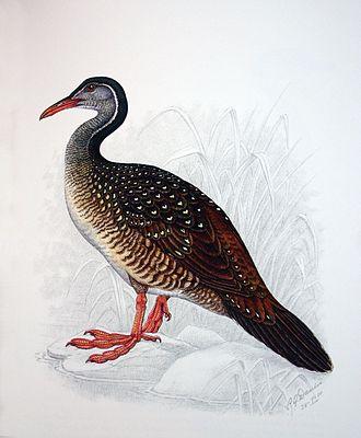 African finfoot - Female