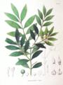Podocarpus nageia SZ137.png