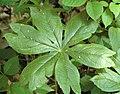 Podophyllum peltatum (may apple) (Hocking Hills, Ohio, USA) 2 (38836349434).jpg