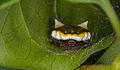 Poecilopachys australasia (15126755854).jpg