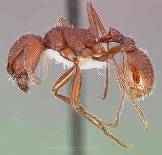 <i>Pogonomyrmex occidentalis</i> species of insect