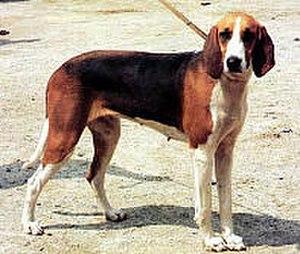 Poitevin (dog)