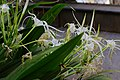 Polistes dominula in a Hymenocallis littoralis in the Weyler's Square.jpg