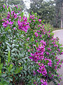 Polygala myrtifolia 1.jpg