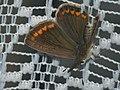 Polyommatus icarus ♀ - Common blue (female) - Голубянка икар (самка) (39225781560).jpg