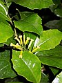 Polyosma cunninghamii flowering.jpg