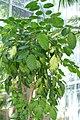 Polyscias guilfoylei Variegata 1zz.jpg