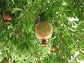 PomegranateTree.jpg