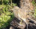 Pond heron - Flickr - Lip Kee.jpg