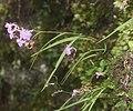 Ponerorchis graminifolia s3.jpg