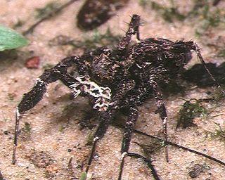<i>Portia fimbriata</i> Species of spider