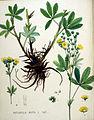 Potentilla recta — Flora Batava — Volume v20.jpg