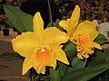Potinara Free Spirit -香港沙田洋蘭展 Shatin Orchid Show, Hong Kong- (9216068292).jpg