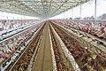 Poultry Farm in Namakkal, Tamil Nadu.jpg