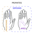 Primate Hand Mnemonic.png