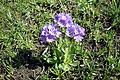 Primula algida, Գնարբուկ սառը, Первоцвет холодный - panoramio.jpg