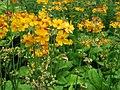 Primulaceae 005.JPG
