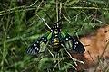 Princely Tiger Moth (Chrysocale principalis) (9934345194).jpg