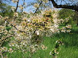 Prunus-spinosa-blackthorn-0a.jpg