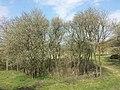 Prunus domestica s. lat. sl18.jpg