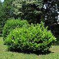 Prunus laurocerasus arboretum F of F Belgrade.jpg