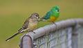 Psephotus haematonotus - Small birds (1).jpg