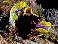 Pserudobiceros gloriosus (flatworm) on Polycarpa aurata (Seasquirt).jpg