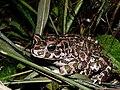 Pseudepidalea viridis.jpg