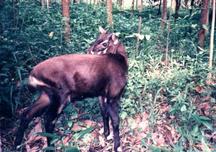 Khammuane-Các khu bảo tồn-Pseudoryx nghetinhensis