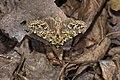 Pseudosomera noctuiformis yunwu (40485155342).jpg