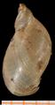 Pseudosuccinea columella shell 4.png