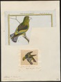 Psittacula batavica - 1700-1880 - Print - Iconographia Zoologica - Special Collections University of Amsterdam - UBA01 IZ18600141.tif
