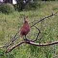 Pternistis leucoscepus -Tarangire National Park, Tanzania-8 (2).jpg