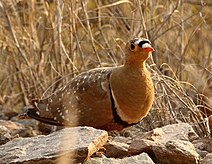 Double-banded Sandgrouse