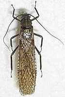 Steinfliegen (Plecoptera): Flügel in Ruhestellung