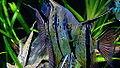 "Pterophyllum scalare - ""Rio Nanay"" - souche sauvage - Aqua Porte Dorée 06.JPG"