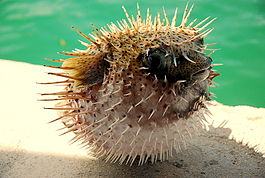 Puffed up Pufferfish.jpg