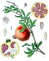 Punica granatum - Köhler–s Medizinal-Pflanzen-116.jpg
