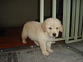 Puppy-Golden-Retriever.JPG