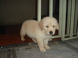 http://upload.wikimedia.org/wikipedia/commons/thumb/7/72/Puppy-Golden-Retriever.JPG/250px-Puppy-Golden-Retriever.JPG