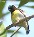 Purple rumped Sunbird (Male)- I2- Kolkata IMG 7714.jpg